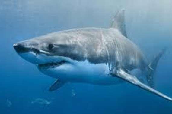 القرش المفترس