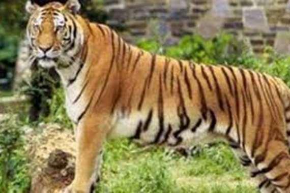 """السعودية توضح سبب التهام """"نمر"""" لشاب داخل حديقة الحيوان"""