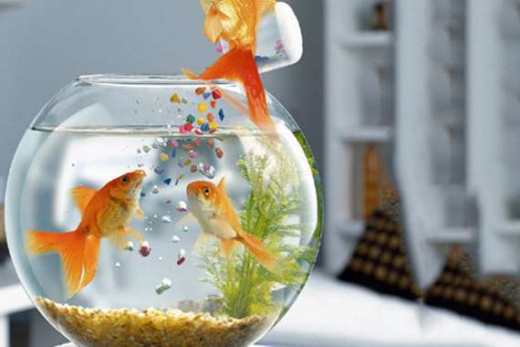 سمك زينة