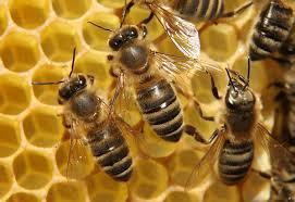 لتعزيز مناعة الجسم.. اتقرص من النحل