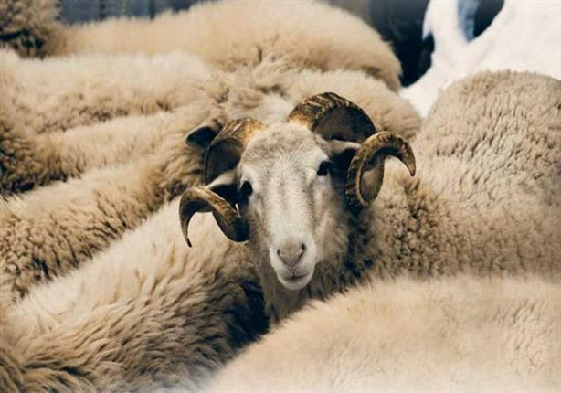 خروف العيد بالتقسيط