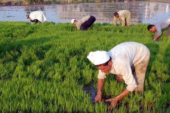 زرعة الأرز في مصر (أرشيفية)