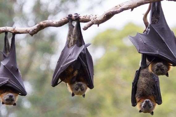 الخفافيش الأفريقية