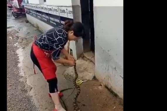 مروع .. صينية تسلخ ثعبانا حيا