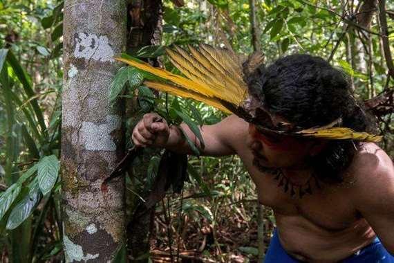 قبائل الأمازون تستخدم العسل ولحاء الأشجار لعلاج كورونا