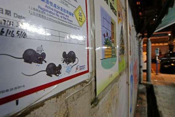 الفئران تصيب البشر بالتهاب الكبد