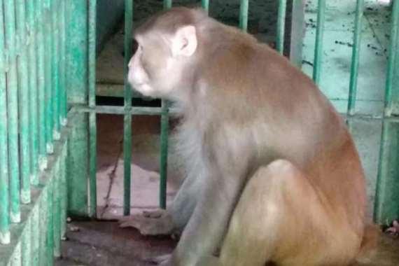 سجن «القرد المخمور» مدى الحياة