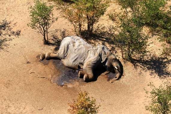وفاة مئات الفيلة في بوتسوانا ناتجة عن «مرض جديد»