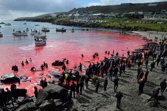 البحر يتحول إلى اللون الأحمر في جزر فارو