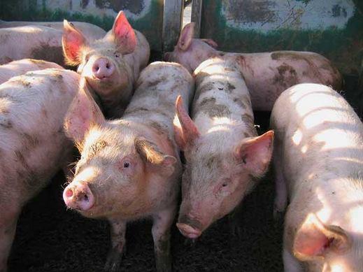 الخنازير تغزو شوارع باكستان