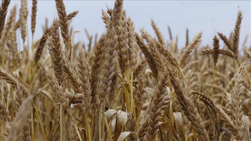 شراء القمح المحلي بسعر يزيد 50 جنيهاً عن السعر العالمي