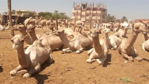 إجراءات بيطرية مشددة لاستقبال شحنة جمال سودانية