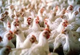 مسؤول فلسطيني: تأكدنا من وجود إنفلونزا الطيور بأحد المزارع في الضفة